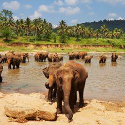Réserve d'éléphants de Pinnawela